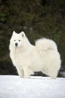 Dog - Samoyed in snow