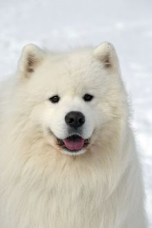 Dog - Samoyed in snow - mouth open