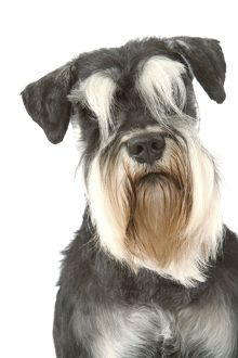 <b>Schnauzer</b><br>Selection of 185 items