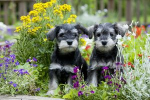 DOG - Schnauzer puppies