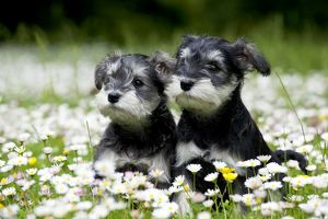 DOG - Schnauzer puppies sitting amongst daisies (6 weeks)