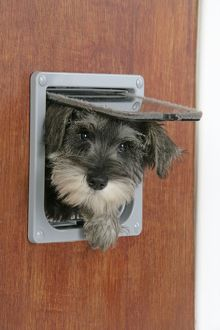 DOG. Schnauzer puppy coming through cat flap