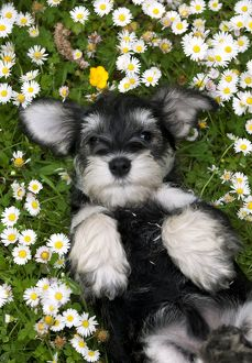 DOG - Schnauzer puppy laying on its back amongst