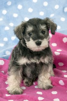 DOG - Schnauzer puppy sitting on a pink spotty