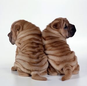 DOG - two Shar Pei puppies, back to back