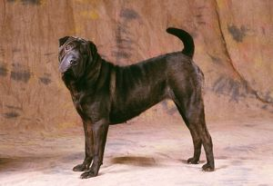 DOG - Shar Pei, side view,
