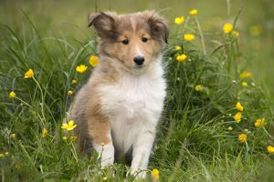 dec2014/7/dog shetland sheepdog miniature collie sheltie