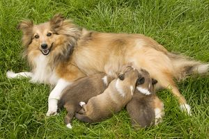 Dog - Shetland Sheepdog with puppies suckling