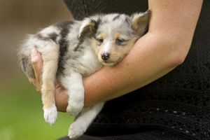 Dog - Shetland Sheepdog puppy being carried by owner
