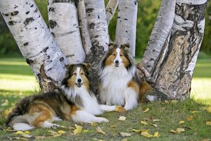 Dog - Two Shetland Sheepdog sitting in grass by birch trees