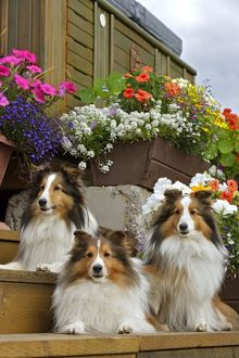 Dog - Shetland Sheepdogs, three lying on garden stairs
