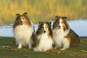 Dog - Three Shetland Sheepdogs sitting in grass by lakeshore