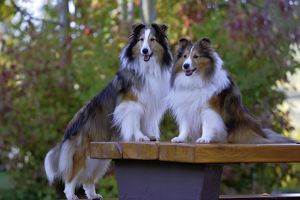 Dog - Two Shetland Sheepdogs on wooden table in park