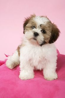 DOG - Shih Tzu - 10 week old puppy on pink cushion