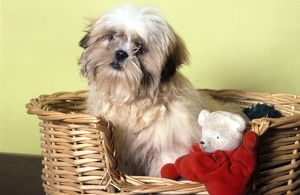 Dog - Shih Tzu in basket with toy