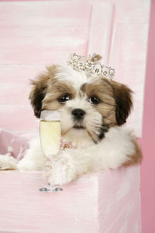 DOG - Shih Tzu - puppy with a tiara and glass of prosecco