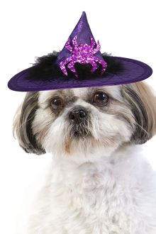 Dog - Shih Tzu wearing witches hat