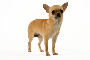 Dog - Short-Haired Chihuahua