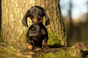 DOG - Short haired miniature dachshund puppy standing