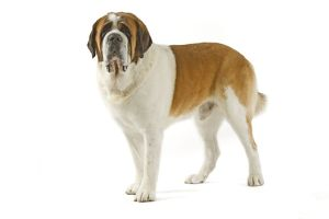 Dog - Short-haired St Bernard