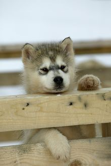 DOG - Siberian / Arctic HUSKIES - puppy peering over fence