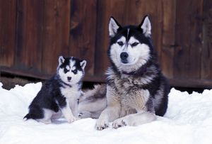 Dog - Siberian Husky adult with puppy six weeks