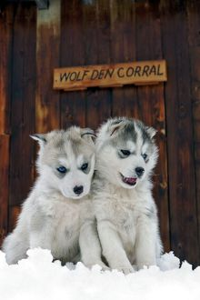 Dog - Siberian Husky, two puppies sitting in snow