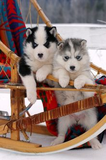 Dog - Siberian Husky two puppies in sled, watching