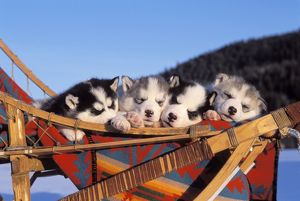 DOG - Siberian Husky - Four puppies sleeping together
