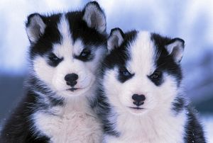 Dog - Two Siberian Husky puppies six weeks old