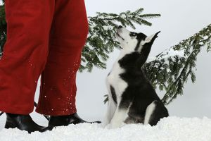 DOG. Siberian husky puppy sitting in snow looking