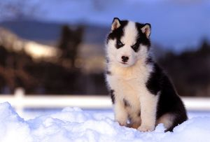 Dog - Siberian Husky puppy six weeks sitting in snow