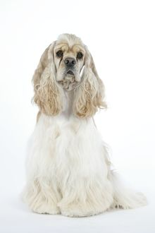 DOG. Silver buff American cocker spaniel