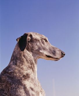 DOG - SLOUGHI / Arabian Greyhound