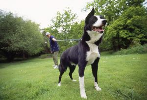 DOG - Smooth Collie on lead with owner
