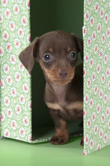 DOG - Smooth haired dachshund puppy standing in