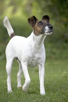Dog - Smooth / Smooth-haired Fox Terrier
