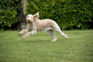 DOG - Spinone - running through garden