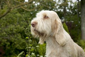 DOG - Spinone - sitting in garden (head shot)
