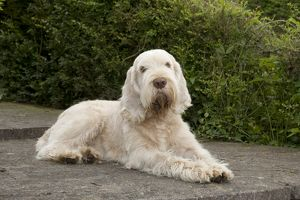DOG - Spinone - sitting on patio