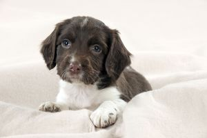 DOG - Springer Spaniel puppies laying on a blanket