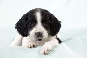 DOG - Springer Spaniel puppy laying on a blanket