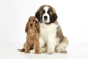 Dog - St Bernard, 14 weeks old puppy & Cocker Spaniel puppy