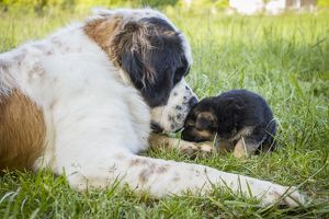 Dog St Bernard with German Shepherd puppy Galicia, Spain