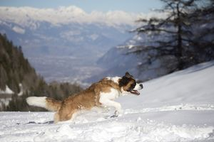 Dog - St. Bernard running in snow