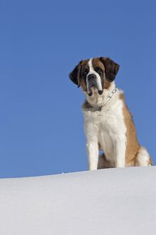 Dog - St. Bernard in snow