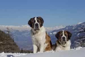 Dog - St. Bernard in snow with mountain scenery