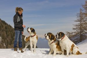 Dog - St Bernard four in snow with woman