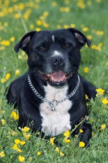 Dog - Staffordshire Bull Terrier
