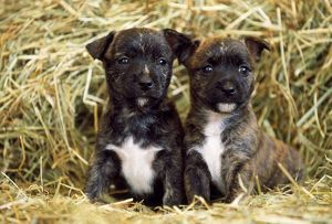 DOG - Staffordshire bull terrier Cross puppies